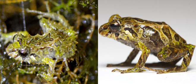 Absurd Creature of the Week: 'Punk Rocker Frog' Has Shape-Shifting Spikes and Teen Angst