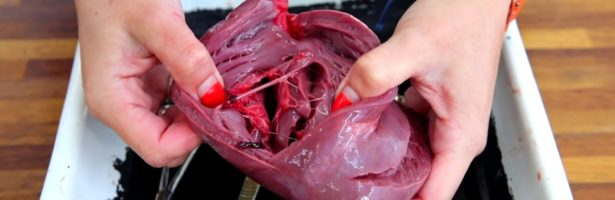 Heart Dissection GCSE A Level Biology NEET Practical Skills